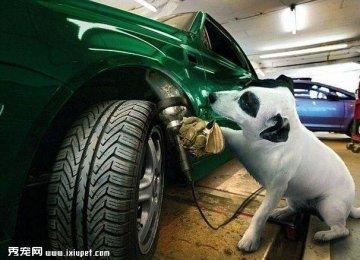 宠物狗变身汽车修理工